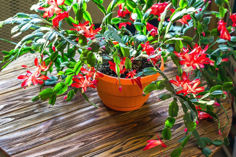kaktus bożego narodzenia rośliny do sypialni