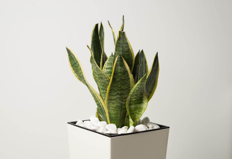 sansewieria gwinejska rośliny do sypialni
